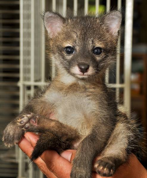 Orphaned baby coyote raised at AWARE [Atlanta Wildlife Animal Rescue Effort]